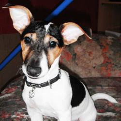 Hendy, chien Jack Russell Terrier