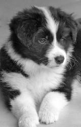 Hengie, chien Border Collie