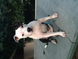 Henia, chien American Staffordshire Terrier