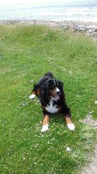 Henjah, chien Bouvier bernois