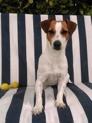 Henjie, chien Jack Russell Terrier