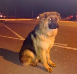 Henko, chien Berger allemand