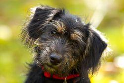 Hennessy, chien Teckel
