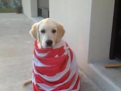 Henola, chien Golden Retriever