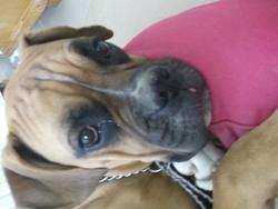 Henri, chien Boxer
