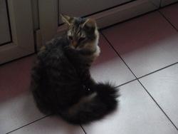 Henri Cat, chat Européen