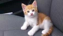 Henver, chat Gouttière