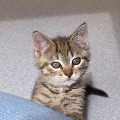 Henya, chat Gouttière