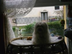 Henzo, chien Coton de Tuléar