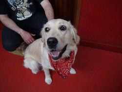 Héol, chien Golden Retriever