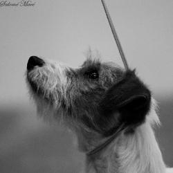 Héphaistos, chien Jack Russell Terrier