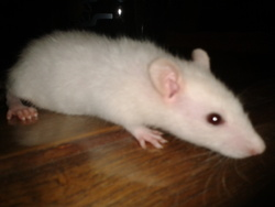 Hephaystos, rongeur Rat