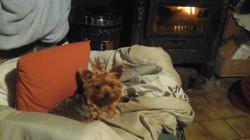 Hepsy, chien Yorkshire Terrier