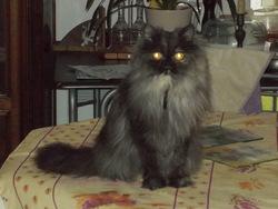 Héra, chat Persan