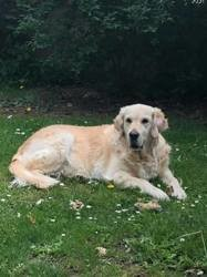 Hera, chien Golden Retriever