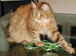 Hera, chat Maine Coon