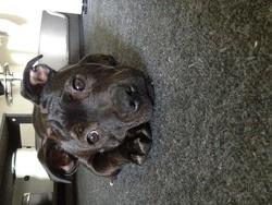 Héra, chien Staffordshire Bull Terrier