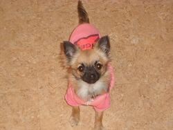 Hera, chien Chihuahua