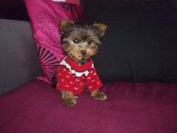 Hera, chien Yorkshire Terrier
