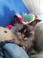 Héra, chat Birman