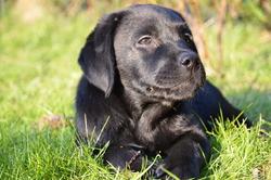 Hera, chien Labrador Retriever