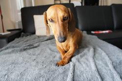 Héra, chien Teckel