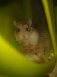 Héra, rongeur Hamster