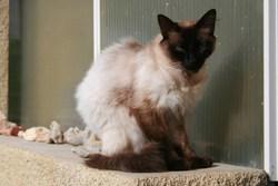 Héra, chat Siamois