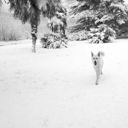Hera, chien Berger blanc suisse