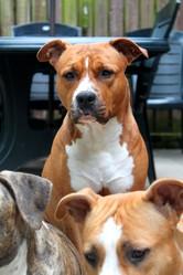 Hera, chien American Staffordshire Terrier