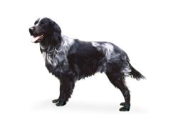 Héra, chien Épagneul bleu de Picardie