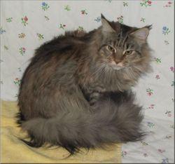 Héra De L'Ile De Tiaré, chat Maine Coon
