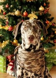 Héras, chien Dalmatien