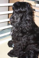 Herbert, chien Cocker anglais
