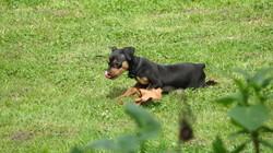 Hercule, chien Pinscher