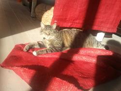 Hercule, chat Européen