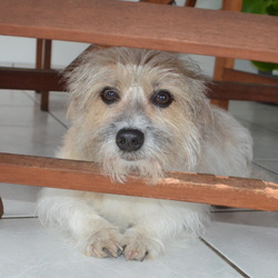 Hercule, chien