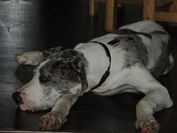 Hercule, chien Dogue allemand