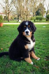 Hercule, chien Bouvier bernois