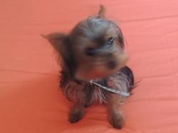 Hercule, chien Yorkshire Terrier