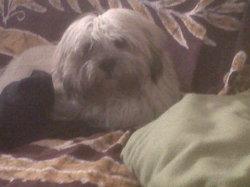 Hercule, chien Lhassa Apso