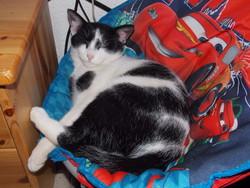 Hercule, chat Gouttière