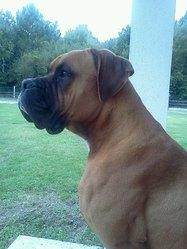 Hercule, chien Boxer