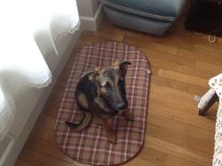 Hercule, chien Berger allemand