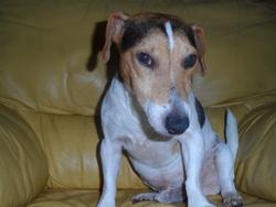 Hercule, chien Jack Russell Terrier