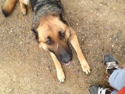 Hercule , chien Berger allemand