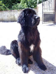 Hercule, chien Terre-Neuve