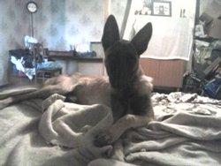 Hercule, chien Berger belge