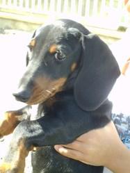 Hercule , chien Teckel