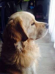 Hercule, chien Golden Retriever